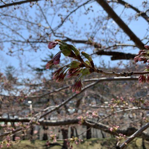 GWに向けて函館公園周辺の桜スポットを紹介